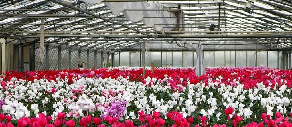 Insieme di fiori colorati rossi e bianchi dentro una serra